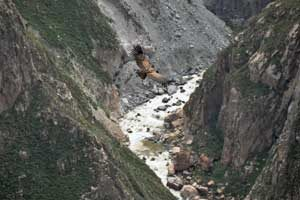 Een nog jonge condor vliegt boven de Colca Canyon