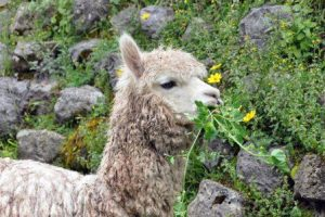 Alpaca tijdens Lares Trekking
