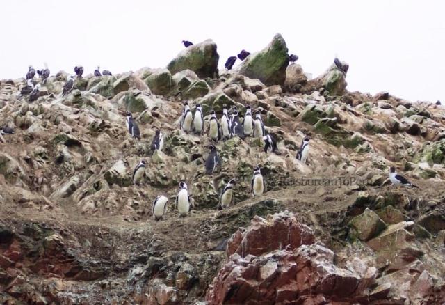 Pinguïns Ballestas Eilanden