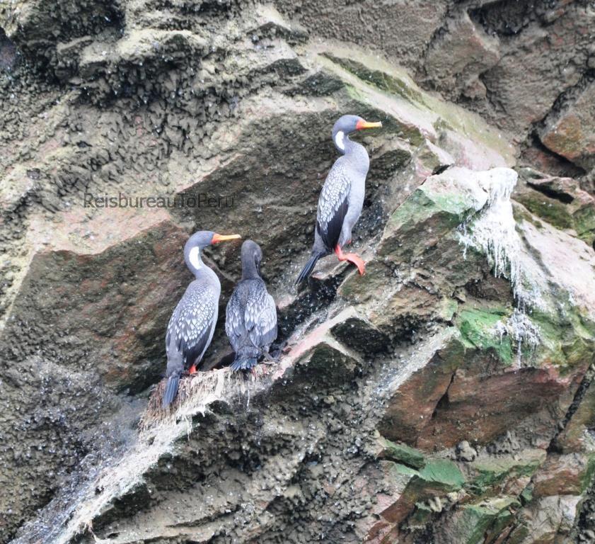 Vogels, Ballestas Eilanden