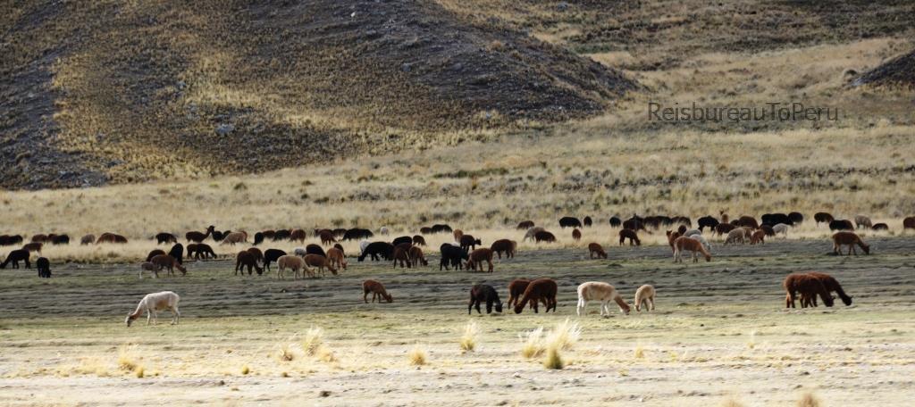Grazende lama's en alpaca's in het Nationale Park Salinas y Aguada Blanca, Arequipa