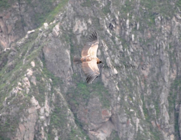Jonge condor in de Colca Canyon