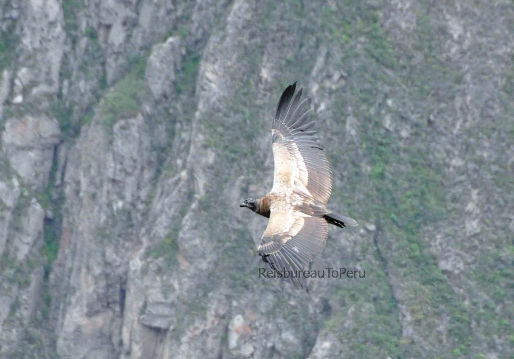 Een jonge condor in glijvlucht, Cruz del Condor