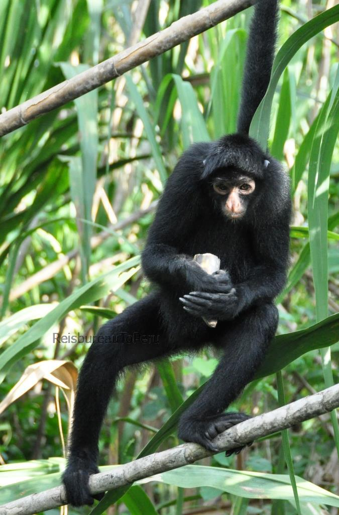 Black faced Spider Monkey, Tambopata reservaat