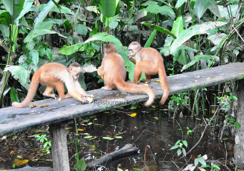 Aapjes bij voederplek, apen eiland, Eco Amazonia Lodge