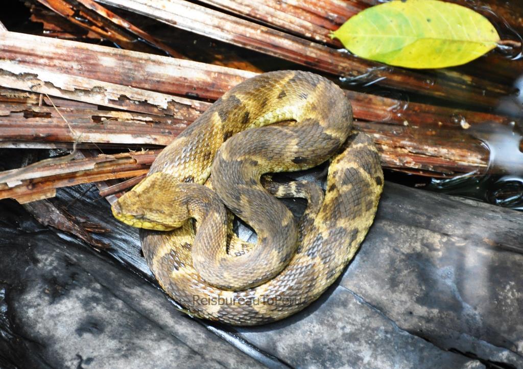 Giftige slang Tambopata reservaat